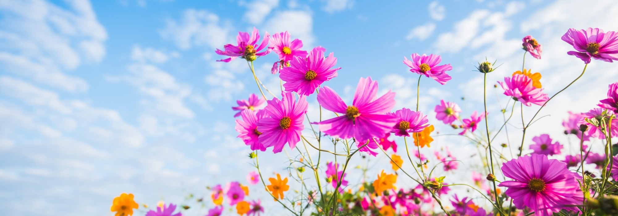 Cosmos_plant_Sky_Clouds_587191_3840x2400